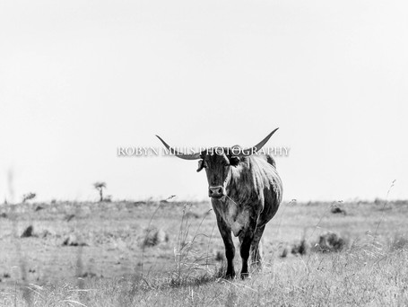 Cow Stands Alone