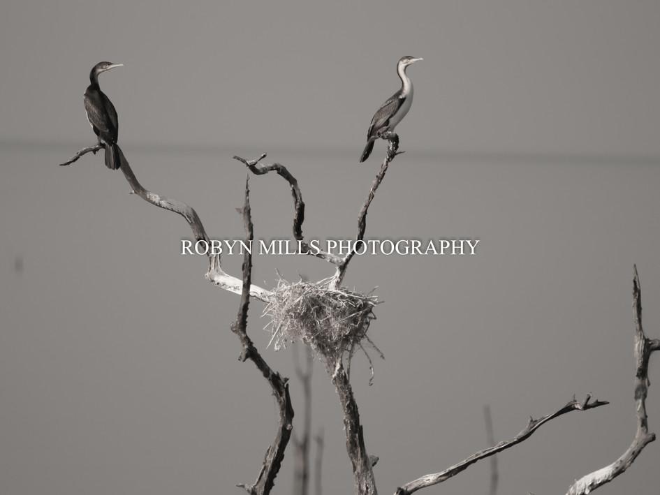 Nesting Cormorants 1/2