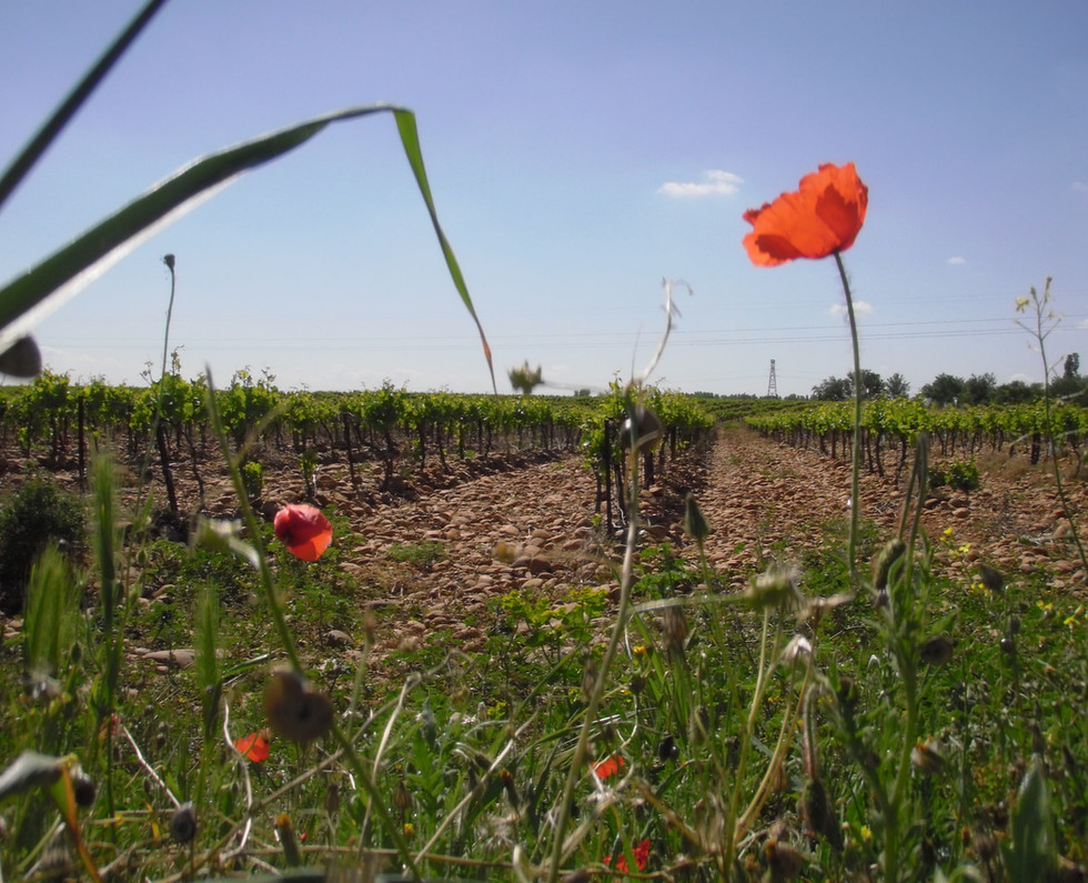 vigne jeunes au printemps.jpg
