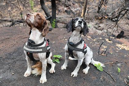 honden-australie.jpg
