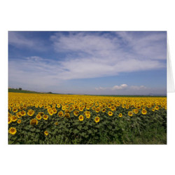 sunflower_fields_blank_card-r36fc98cff09