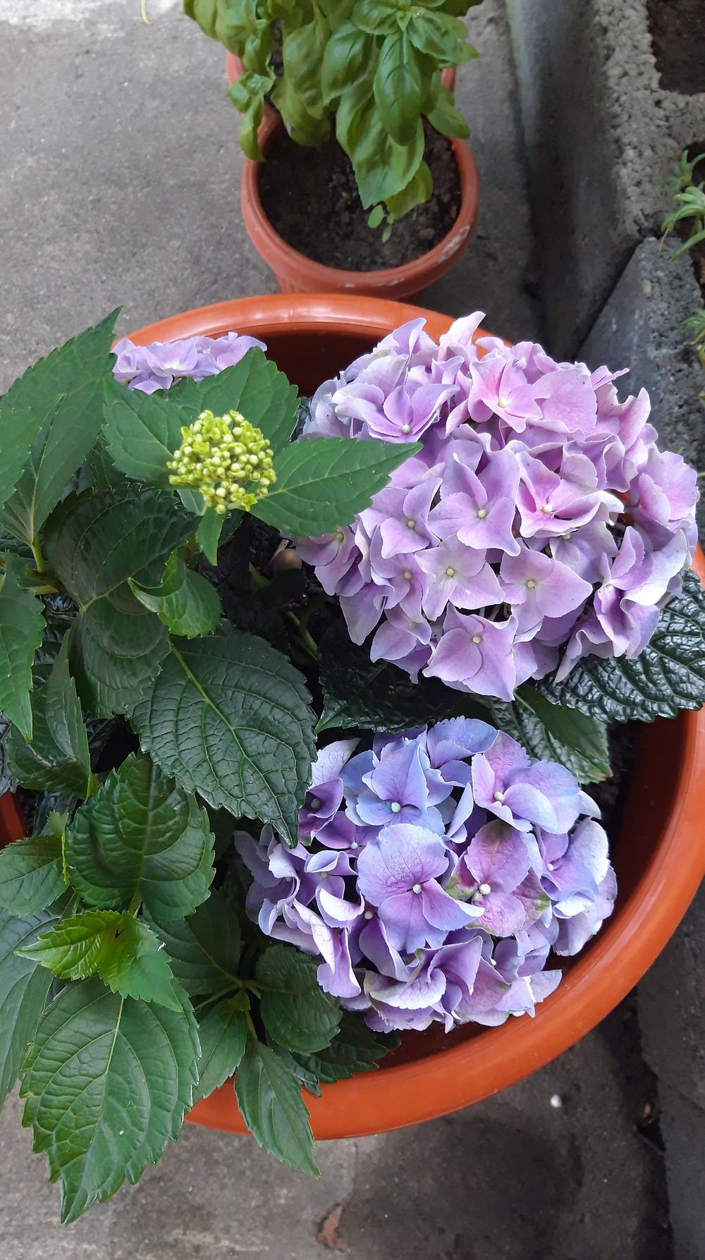 Purple Hydrangeas Flowers