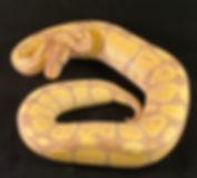 Banana Ball Python.jpg