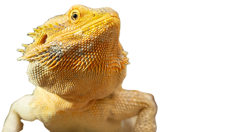 bearded%2520dragon_edited_edited.png