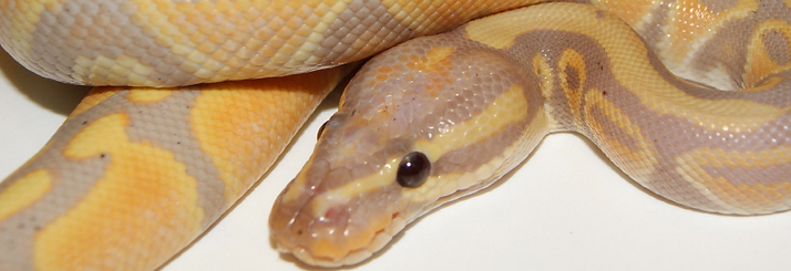 royal pythons for sale , ball pythons for sale in Essex, royal morphs for sale, incubators for sale