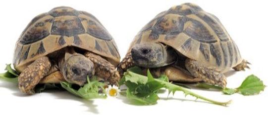 two-tortoise-eating_edited.jpg