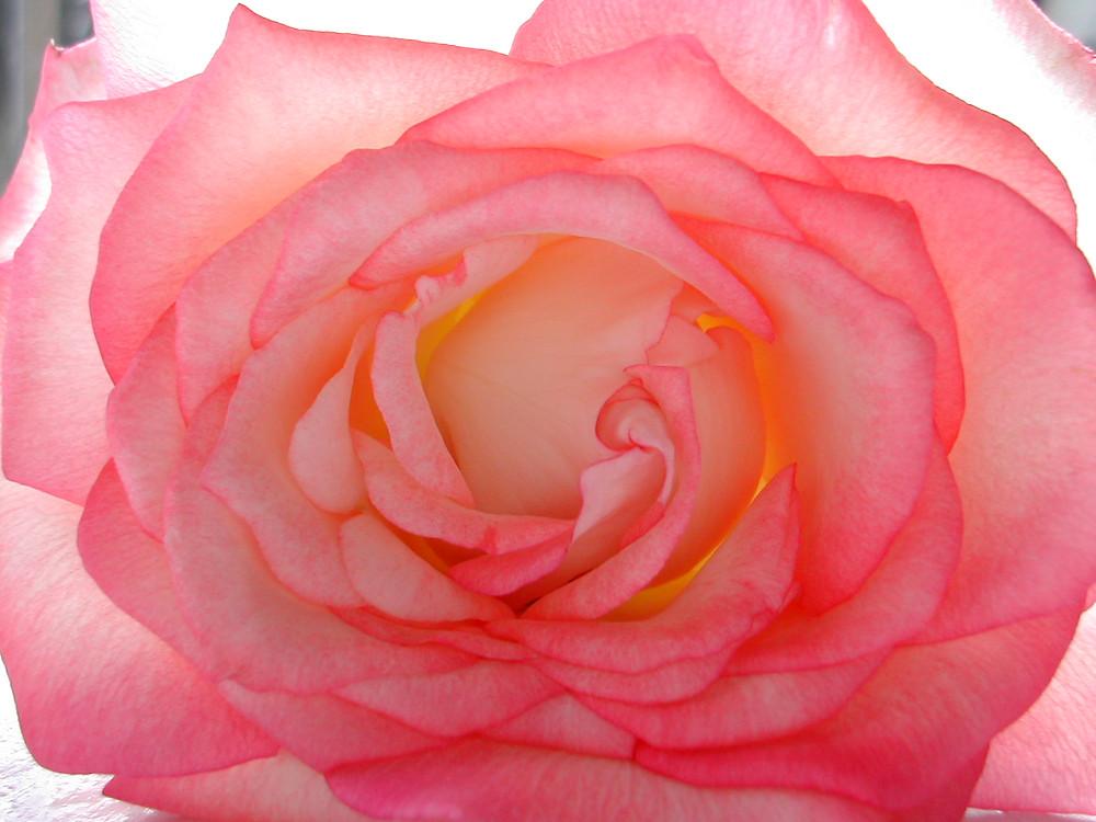 Fleur de Paix