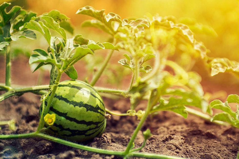 Watermelon growing in the field.jpg