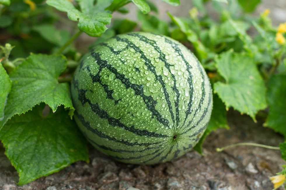 Watermelon is growing in the garden,Swee