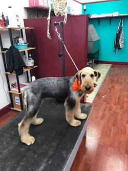 Airedale After
