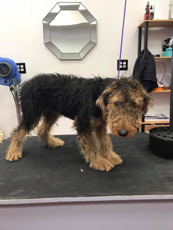 Airedale Before