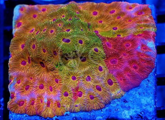 Coral Shop's Freakout Favia