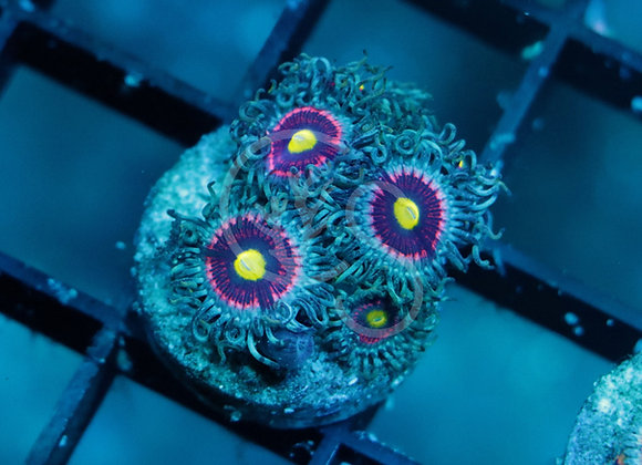 Pink Ring of Death Zoanthids