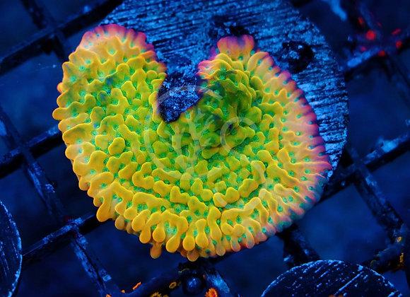 ASD Rainbow Phenomenon Montipora
