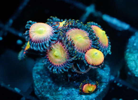 Funny D Zoanthids