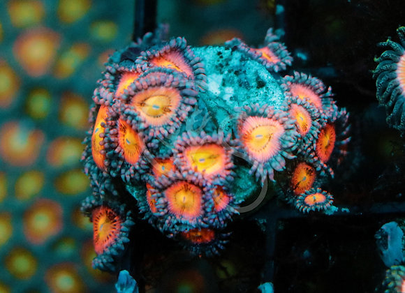 WWC Halle Berry Zoa Colony
