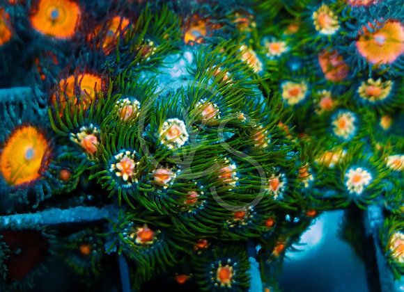 Jason Fox Stargazer Zoa Colony