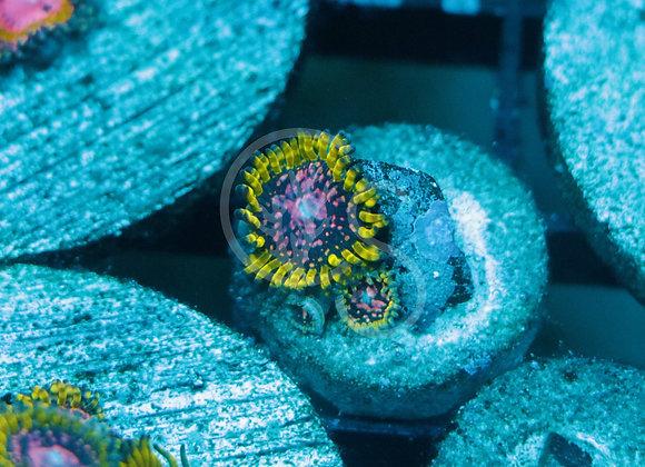 WWC Purple Monster Zoanthids