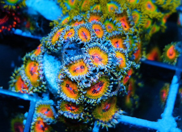 Bowtie Blaster Zoa Colony