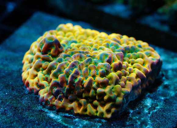 Coral Shop's Green Machine Montipora