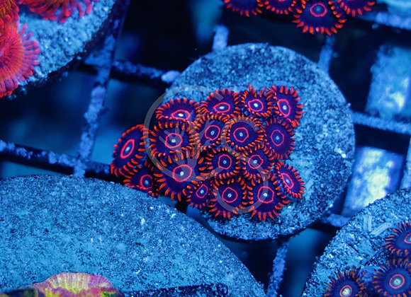 Red Hornet Zoanthids