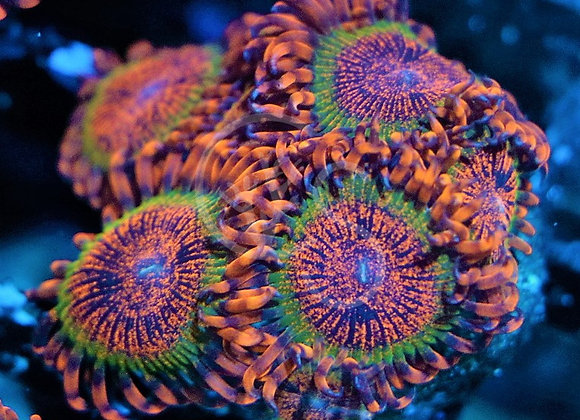 Speckled Krakatoa Zoanthid