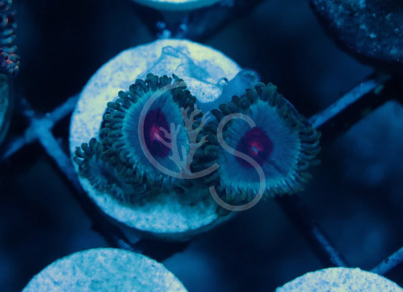 Miami Vice Zoanthids