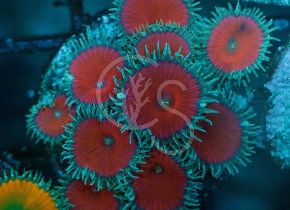 Red Death Palythoas