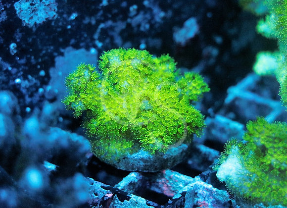 Ultra Bushy Stylophora