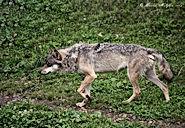 Un loup à la réserve de Vallorbes en Suisse. Photo de Xavier Malghem en 2012.
