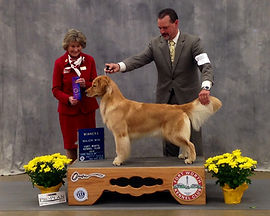 Austin Tx Golden Retriever Breeding - Celebrity Goldens