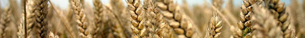 wheat_field_new.jpg