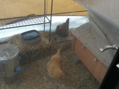 Winter Chicken Update