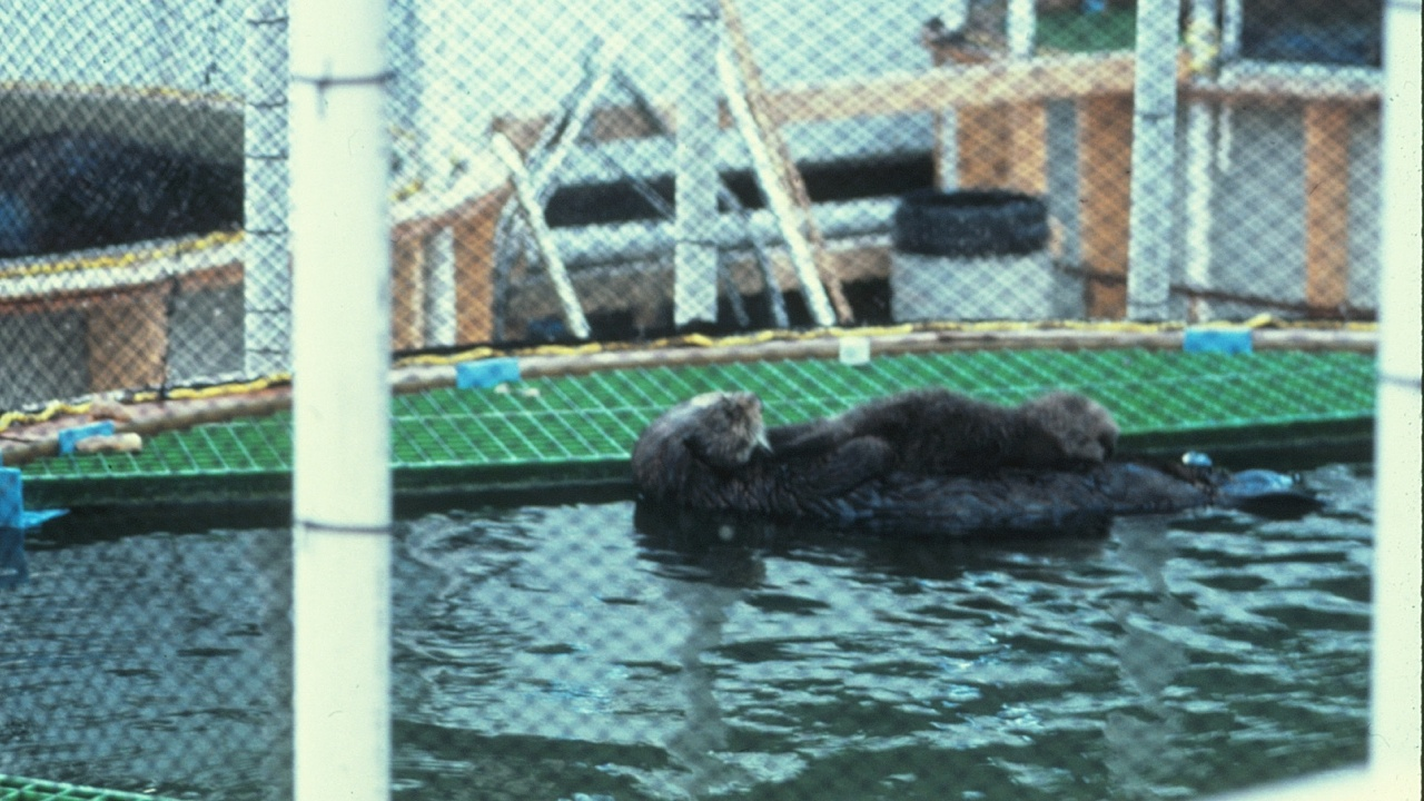This mother otter served as a raft on which she carried her baby, letting it nurse and grooming it nearly every waking minute.