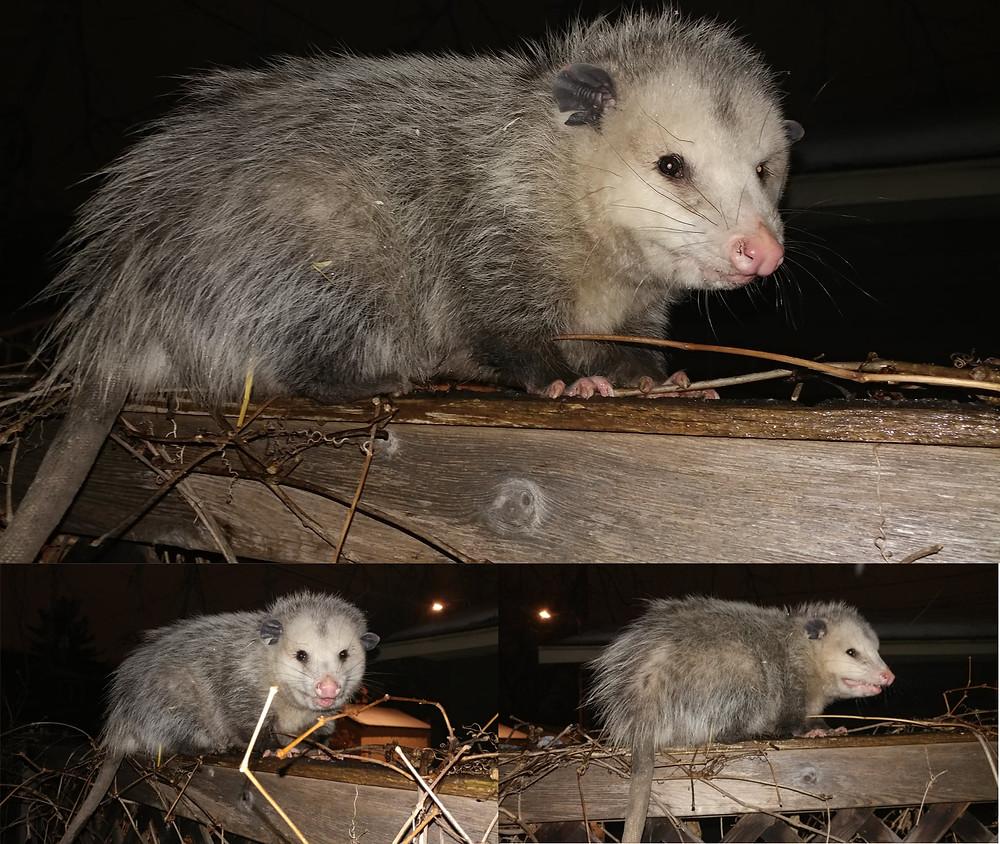 Large opossum