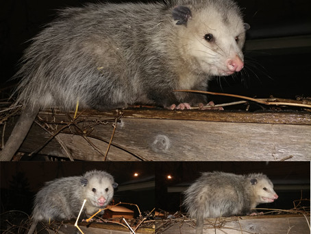 What We Can Learn from Our Neighborhood Opossums