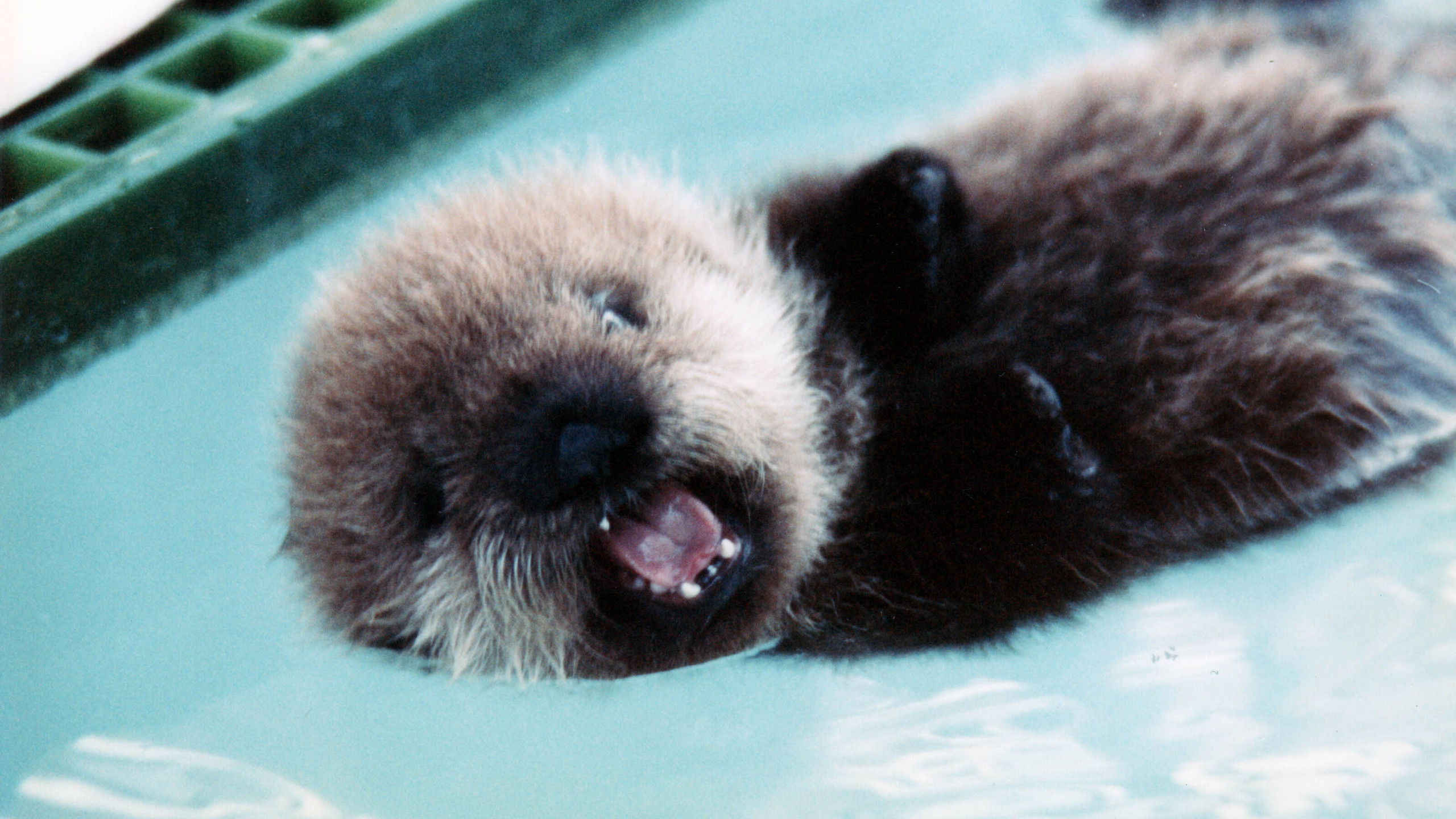 A baby otter cries for its mother