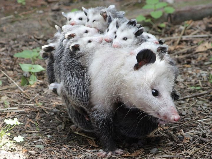mother Opossum with a litter of babies