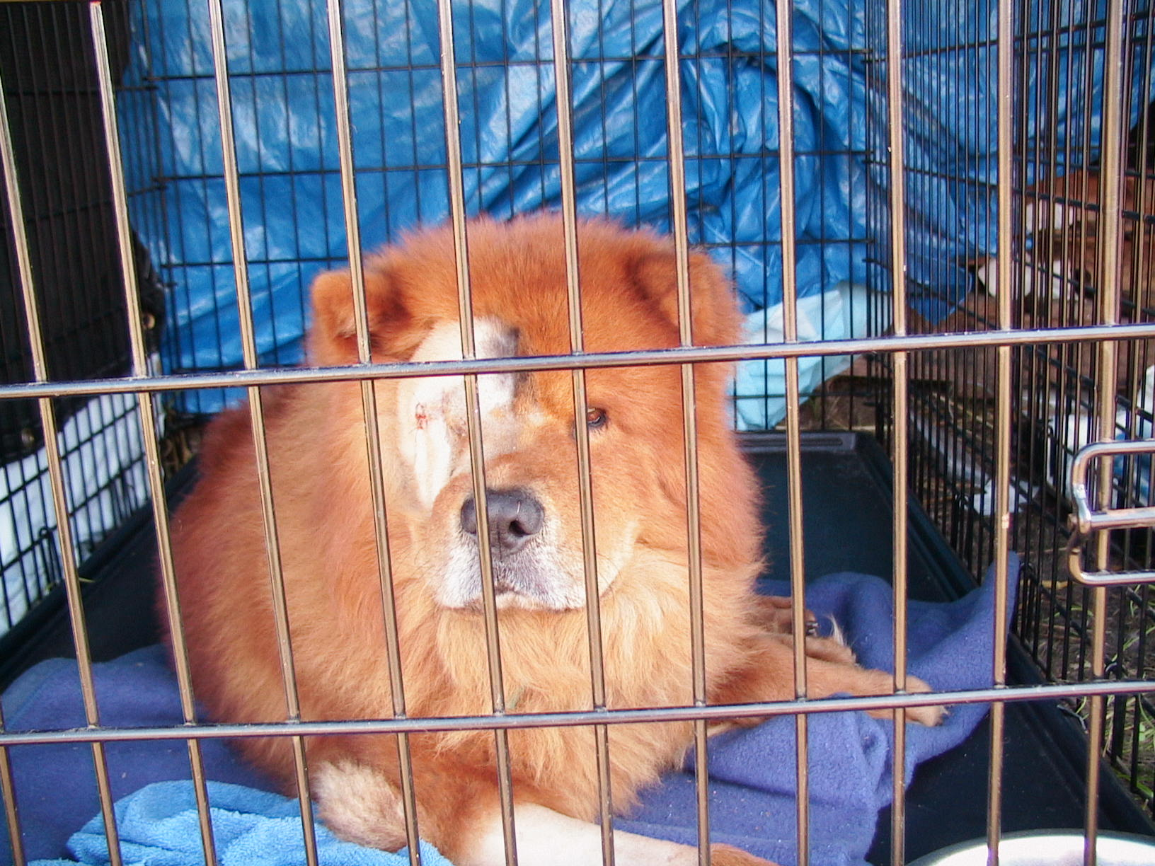 Injuries were common with the pets rescued after Hurricane Katrina. This Chow Chow lost an eye.