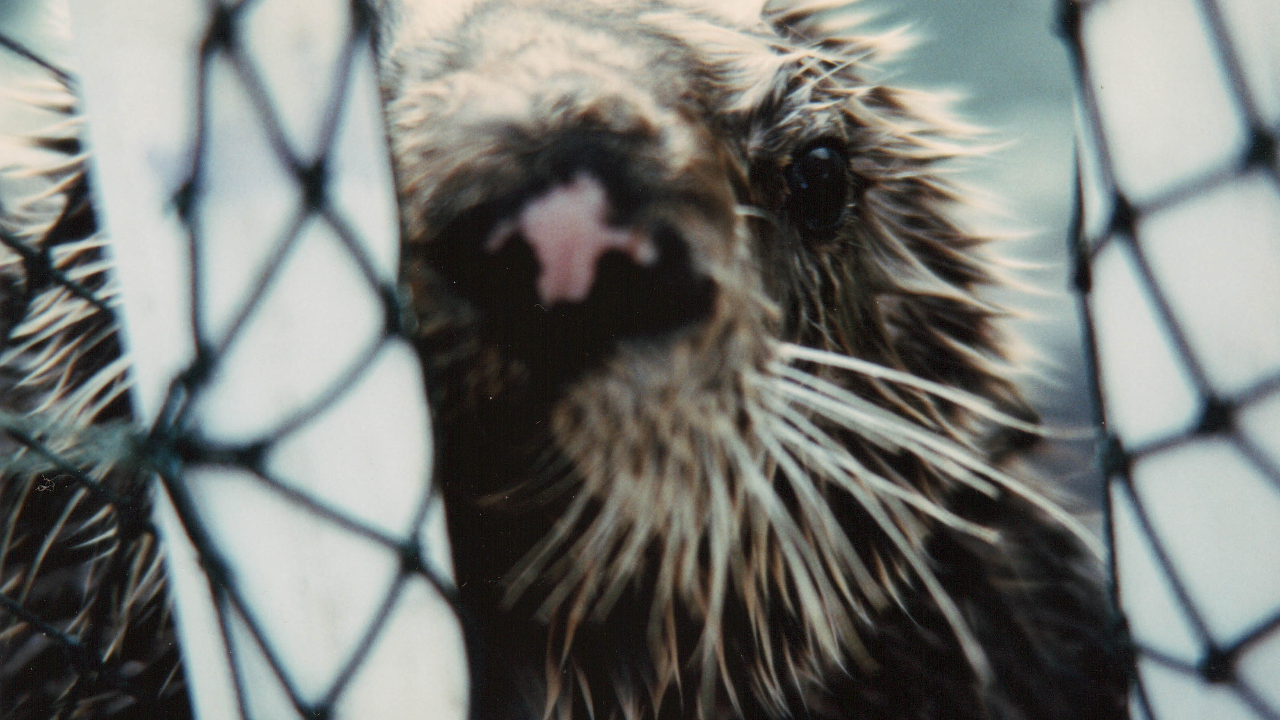 An oiled otter looks out of an enclosed pool.