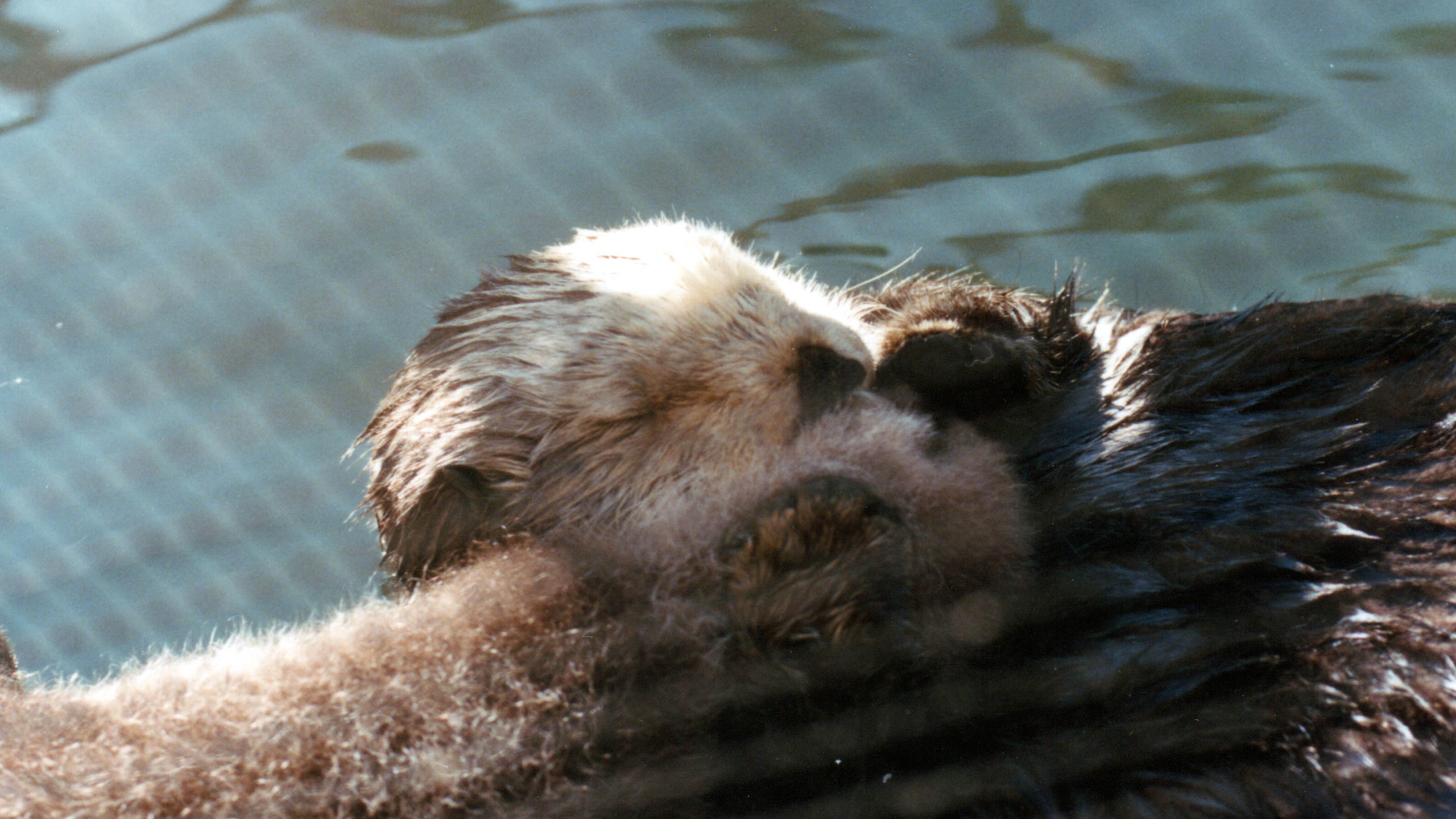 This mother otter spent nearly every waking hour tending her pup, which was born at the Sea Otter Rescue Center, and slept holding its nose next to hers, to keep it above the water. This mother cared for her pup this way every day for weeks, until the pup was taken away from her.