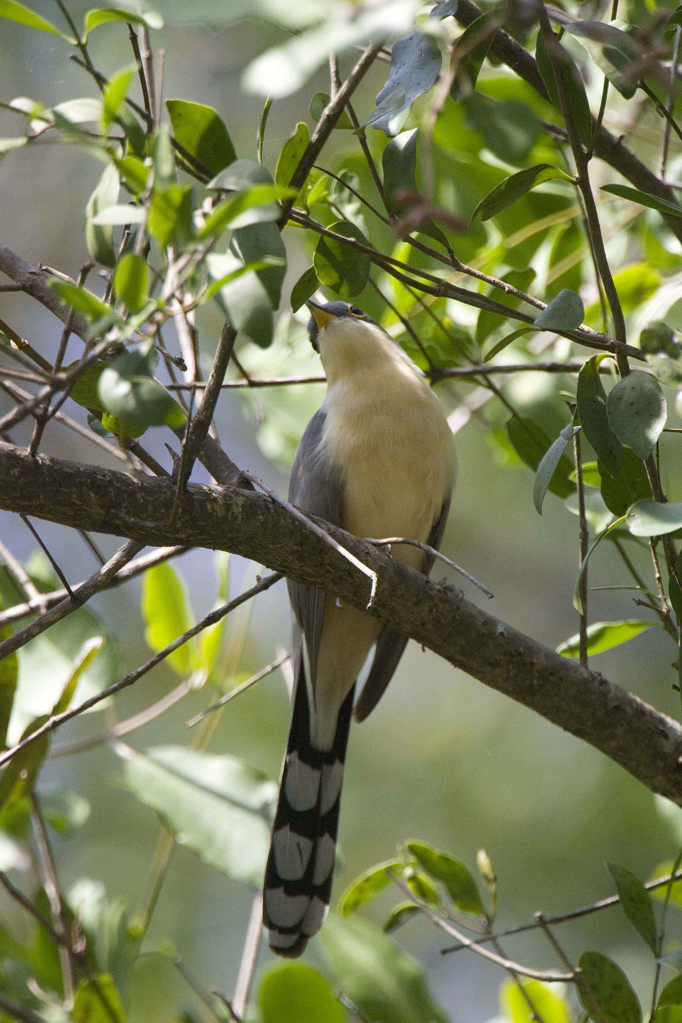 Mangrove Cuckoo Costa Rica 08 Keith Offord