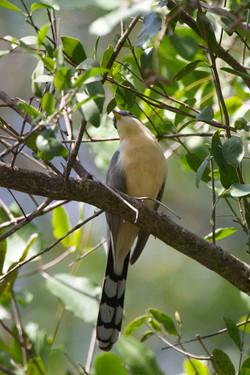 Mangrove Cuckoo Costa Rica 08 Keith Offord