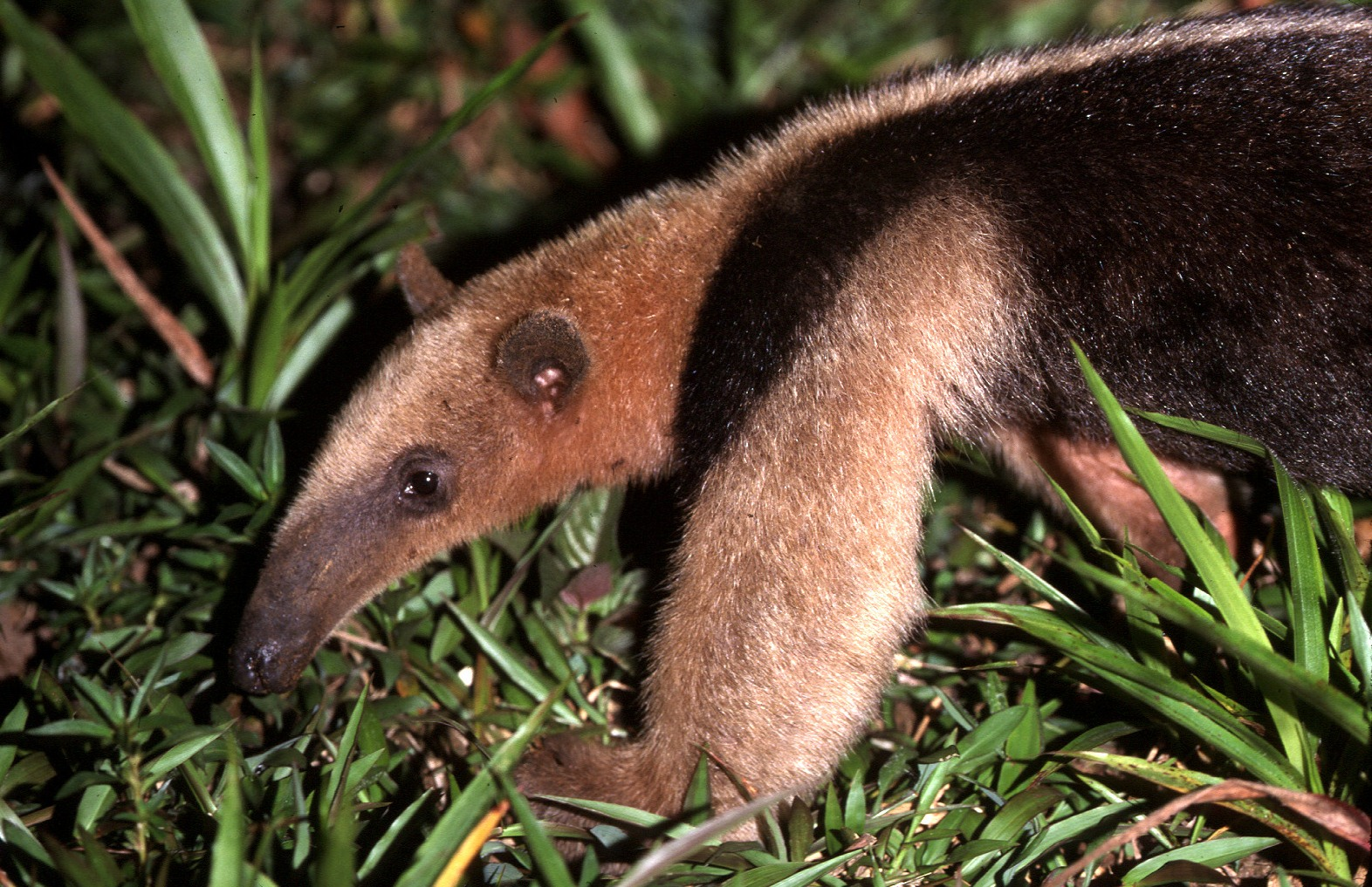 Tamandua by Fred Atwood