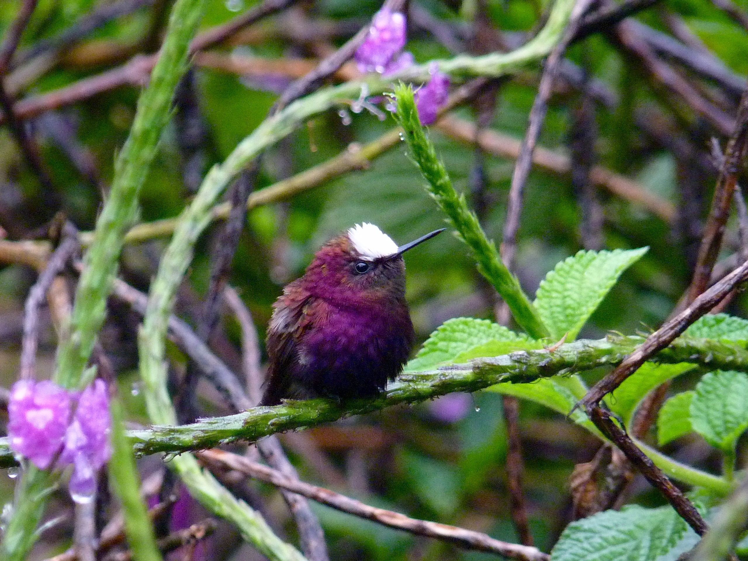 Snowcap-Costa Rica by Paco Madrigal