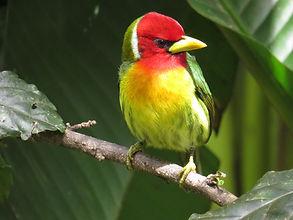 Red-headed Barbet.JPG