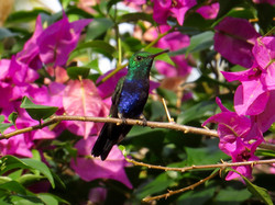 Violet-bellied Hummingbird, Panama by Paco Madrigal