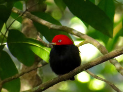 Red-capped Manakin, Costa Rica by Paco Madrigal