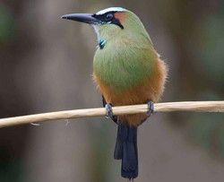 Turquoise-browed Motmot 1 Costa Rica 2010 Keith Offord_edited_edited