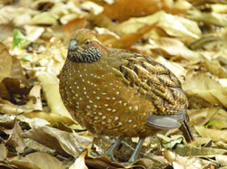 Spotted Wood-Quail, Costa Rica by Paco Madrigal